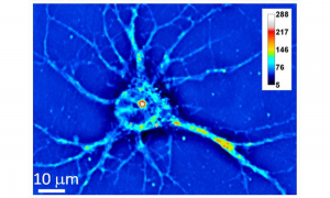 Hippocampal Neuron as imaged by SLIM. The colors represent a measure of optical density.
